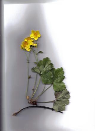 pflanzenbestimmung herbarium. Black Bedroom Furniture Sets. Home Design Ideas