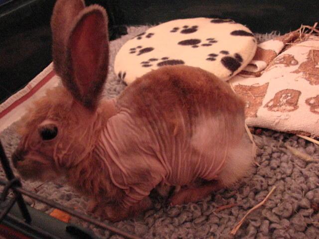 Wer kann den beiden Nacktkaninchen helfen - Kaninchen
